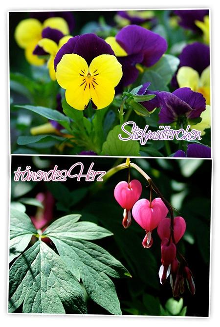 meine Lieblingsblumen: tränendes Herz und Stiefmütterchen