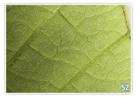 Woche 46 - die Farbe Grün (Projekt52 - 2008) ... auf dem Foto ist ein Blatt von der Unterseite zu sehen. Da es eine Makroaufnahme ist, sieht man jedes Äderchen und jedes Härchen
