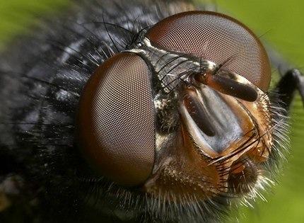 Flickr - Augen einer Fliege in Makro