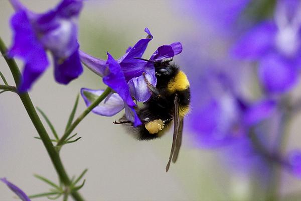 Lecker Honig - Biene mit Honig an den Beinen
