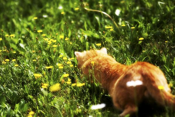 Erwischt - Braune/rote Katze im Gras