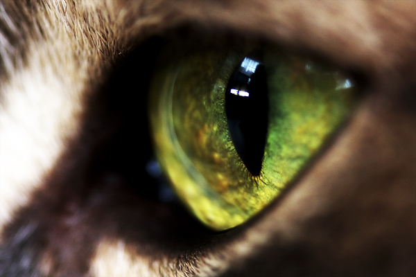 Katzenauge - Macro - Eye - Cat