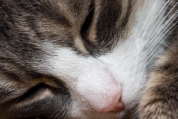 Tammy - britisch Kurzhaar - Katze